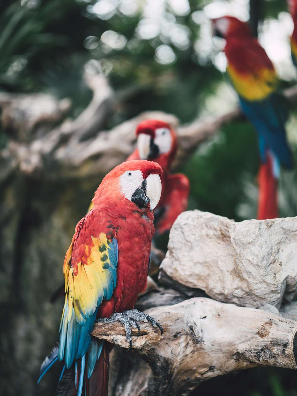 Red macaws in Mexico