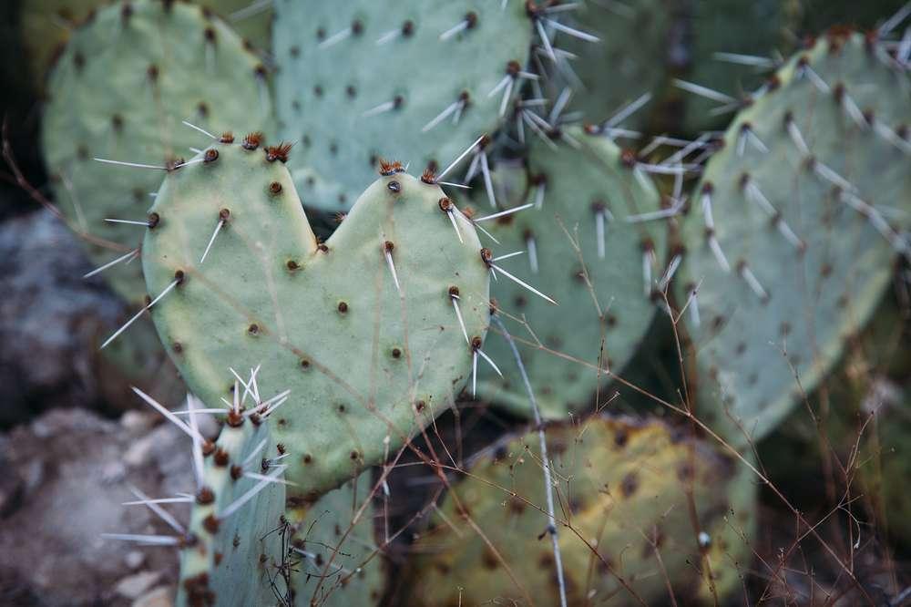 Cacti in big Bend National Park.