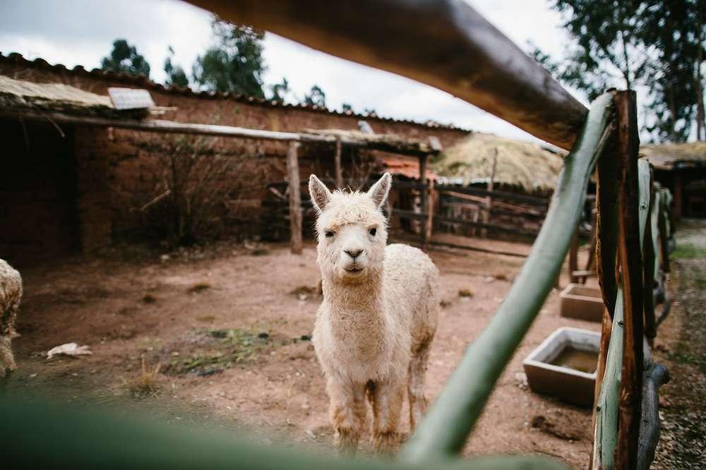 Llama in pen in Peru