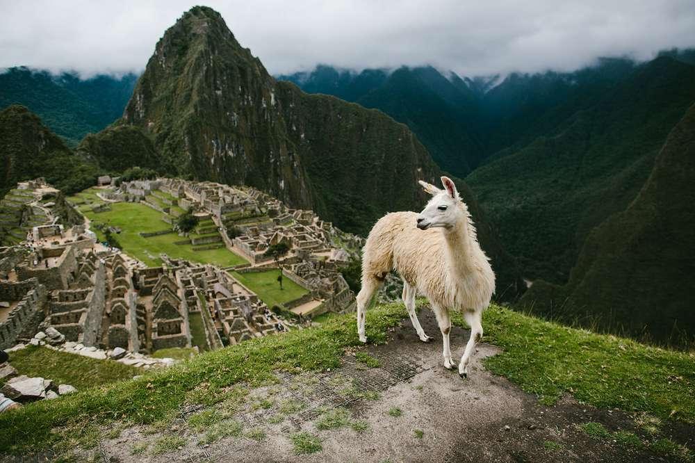 Llama standing in front of Machu Picchu