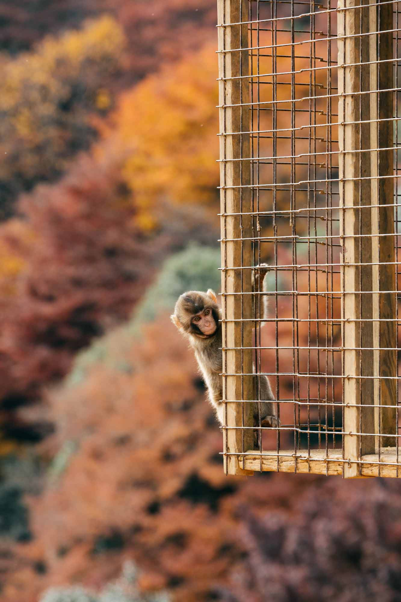 A small monkey hangs on a wire cage in Japan.